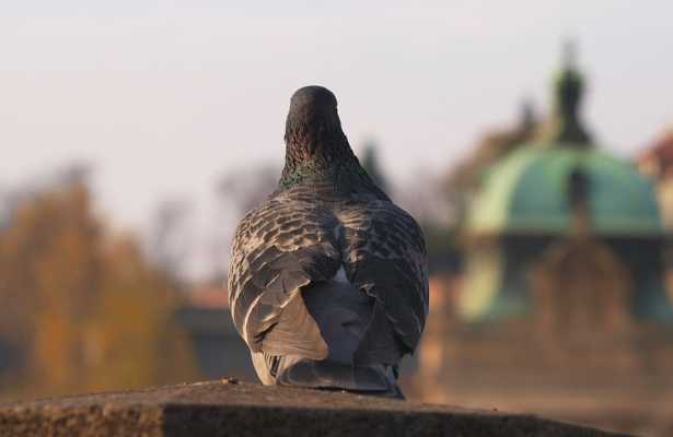Gołębie zagrożeniem dla polskich zabytków